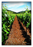 Chardonnay Digital Art Posters - Napa Rows of Grapes Poster by Joan  Minchak