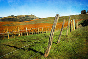 Grape Vines Prints - Napa Valley in Autumn Print by Ellen Cotton