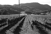 Grape Vines Posters - Napa Valley Vineyard .  Black and White . 7D9020 Poster by Wingsdomain Art and Photography