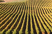 Grape Vineyards Prints - Napa Valley Vineyard . 7D9061 Print by Wingsdomain Art and Photography