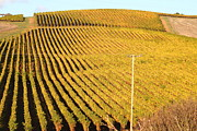 Grape Vineyards Prints - Napa Valley Vineyard . 7D9062 Print by Wingsdomain Art and Photography