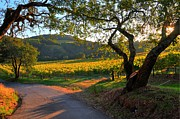 Napa Valley Vineyard Prints - Napa Valley Vineyard Print by Michael Biggs