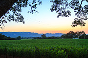 Napa Valley Vineyard Prints - Napa Vineyard At Sunset Print by Dina Calvarese