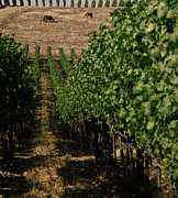Vineyard Photos - Napa Vineyard by Gilbert Artiaga