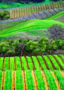 Wine Country Prints - Napa Vinyards Print by Chuck Kuhn