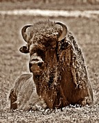 Napping Bison Print by Monica Wheelus