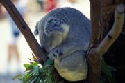 Koala Bear Art - Naptime for a Koala Bear by Carl Purcell