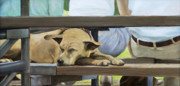 Sleeping Dog Framed Prints - Naptime in the Bleachers Framed Print by Linda Tenukas