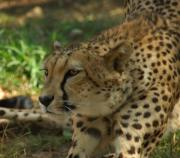 Cheetah Photo Posters - Naptime Is Over Poster by Donna Blackhall