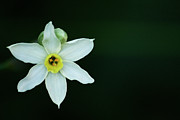 White Flower Photos - Narcissus by Annfrau