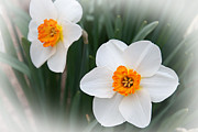Blossom - Narcissus Ice Follies 2 In The Mist by Andee Photography