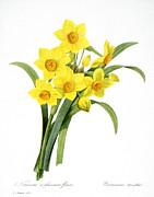 Narcissus (n. Tazetta) Print by Granger