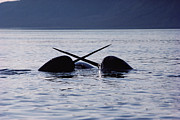 Baffin Island Framed Prints - Narwhal Males Sparring Baffin Island Framed Print by Flip Nicklin