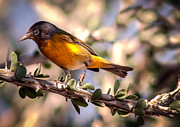Photohraphy Prints - Nashville Warbler II Print by Robert Bales