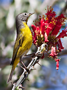 Photohraphy Prints - Nashville Warbler Print by Robert Bales