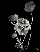 Flower Photos Framed Prints - Nasturtium in Black and White Framed Print by Endre Balogh