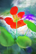 Richard Piper Metal Prints - Nasturtium Metal Print by Richard Piper