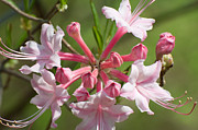 Green - Native Azalea by Bruce Gourley