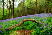 Natural Arch And Bluebells Print by John Edwards