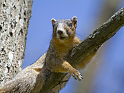 Fox Squirrel Art - Natural Blues by Betsy A Cutler East Coast Barrier Islands