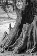 Tree Roots Photo Prints - Natural Cypress Print by Carolyn Marshall