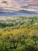 Apple Orchards Posters - Natural Moments Photography Orchards Poster by Darwin Wiggett