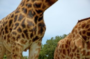 Two By Two Posters - Natural pattern of the skin of two giraffes Poster by Sami Sarkis