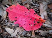 Fallen Leaf Posters - Natural Red Poster by Mandy Shupp