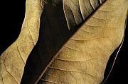 Abstract Leaf Prints - Natural Seduction Print by Dan Holm