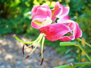 Lilies Art - Nature Colorful Bright Pink Lily Flowers art prints Baslee Troutman by Baslee Troutman Art Print Gallery