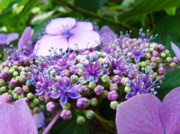 Purple Hydrangeas Prints - Nature Floral art prints Purple Hydrangea Flowers Baslee Troutman Print by Baslee Troutman Fine Art Prints