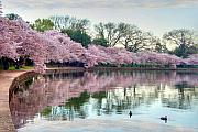 Cherry Blossoms Metal Prints - Nature Heals Metal Print by Mitch Cat