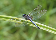 Green And Blue Posters - Nature Macro - Blue Dragonfly Poster by Carol Groenen