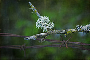 Lichen Photo Posters - Nature Meets Barbed Wire Poster by Bonnie Bruno