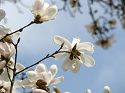 Global Art Posters - Nature Photography Blue Sky art prints White Magnolia Flowers Poster by Baslee Troutman Nature Photography
