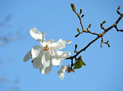 Fine Photography Art Photos - Nature Photography Blue Sky White Magnolia Flower by Baslee Troutman Nature Photography