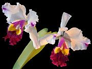 Orchid Flowers Prints - Nature Print by Vijay Sharon Govender