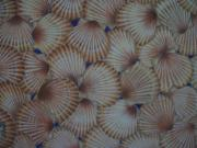 Seashell Art Pastels Prints - Natures Artistry Print by Rose Mary Gates