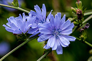Bull Creek Prints - Natures Beautiful Blue Chicory Flowers Print by John Haldane