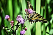 Tiger Swallowtail Digital Art Framed Prints - Natures Beauty Framed Print by Don Mann