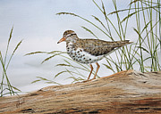 Sandpiper Painting Framed Prints - Natures Delicate Beauty Framed Print by James Williamson