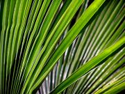 Fan Palm Framed Prints - Natures Fan Framed Print by Steven Huszar