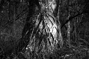 Strangler Fig Metal Prints - Natures Grip Metal Print by David Lee Thompson