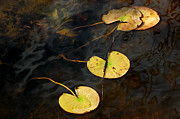 Nature Center Pond Prints - Natures Lily Pad Garden Print by LeeAnn McLaneGoetz McLaneGoetzStudioLLCcom