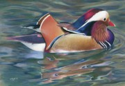Mandarin Drawings - Natures Palette by Karen Hull