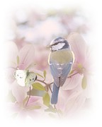 Tit Framed Prints - Natures Song Framed Print by Sharon Lisa Clarke