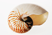 Shell Pattern Framed Prints - Nautilus Seashell. Framed Print by Martin Harvey