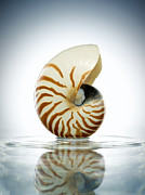Colored Shell Framed Prints - Nautilus Shell In A Still Pool Of Water Framed Print by Chris Stein