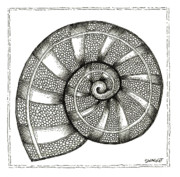 Shell Drawings - Nautilus by Stephanie Troxell