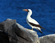 Austral Islands Prints - Nazca Booby Print by Tony Beck
